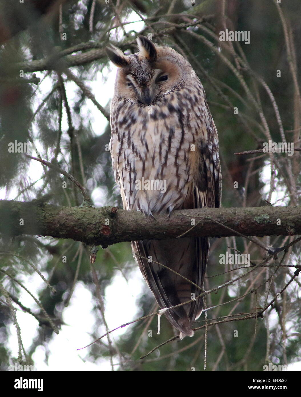 Long-eared Owl (Asio otus) in a pine tree during daytime, dozing and resting. - Stock Image