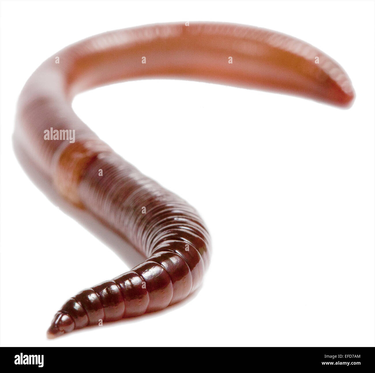 Lumbricus Cut Out Stock Images Pictures Alamy