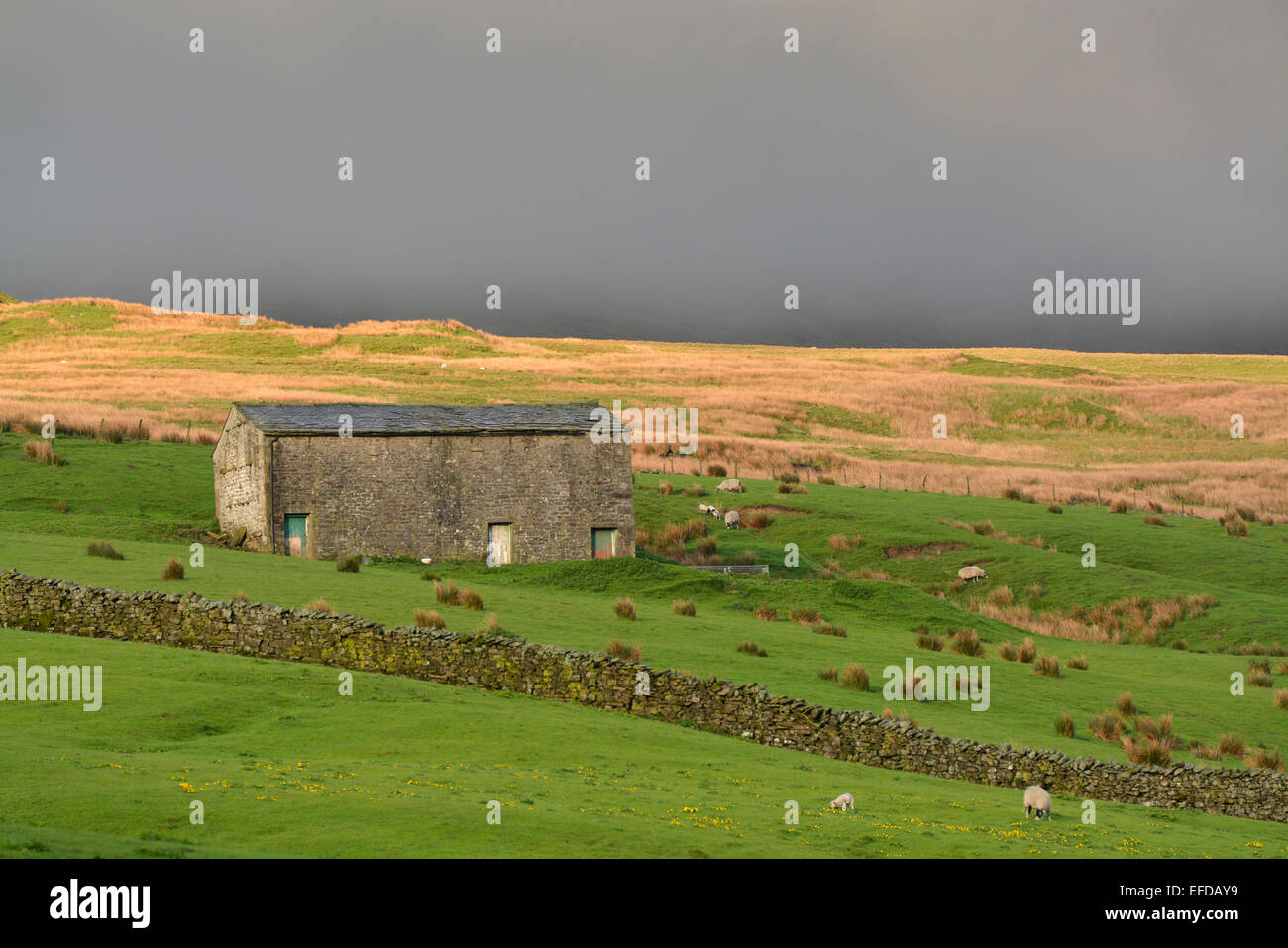Traditional stone barn in upland pasture, Cumbria, UK. - Stock Image