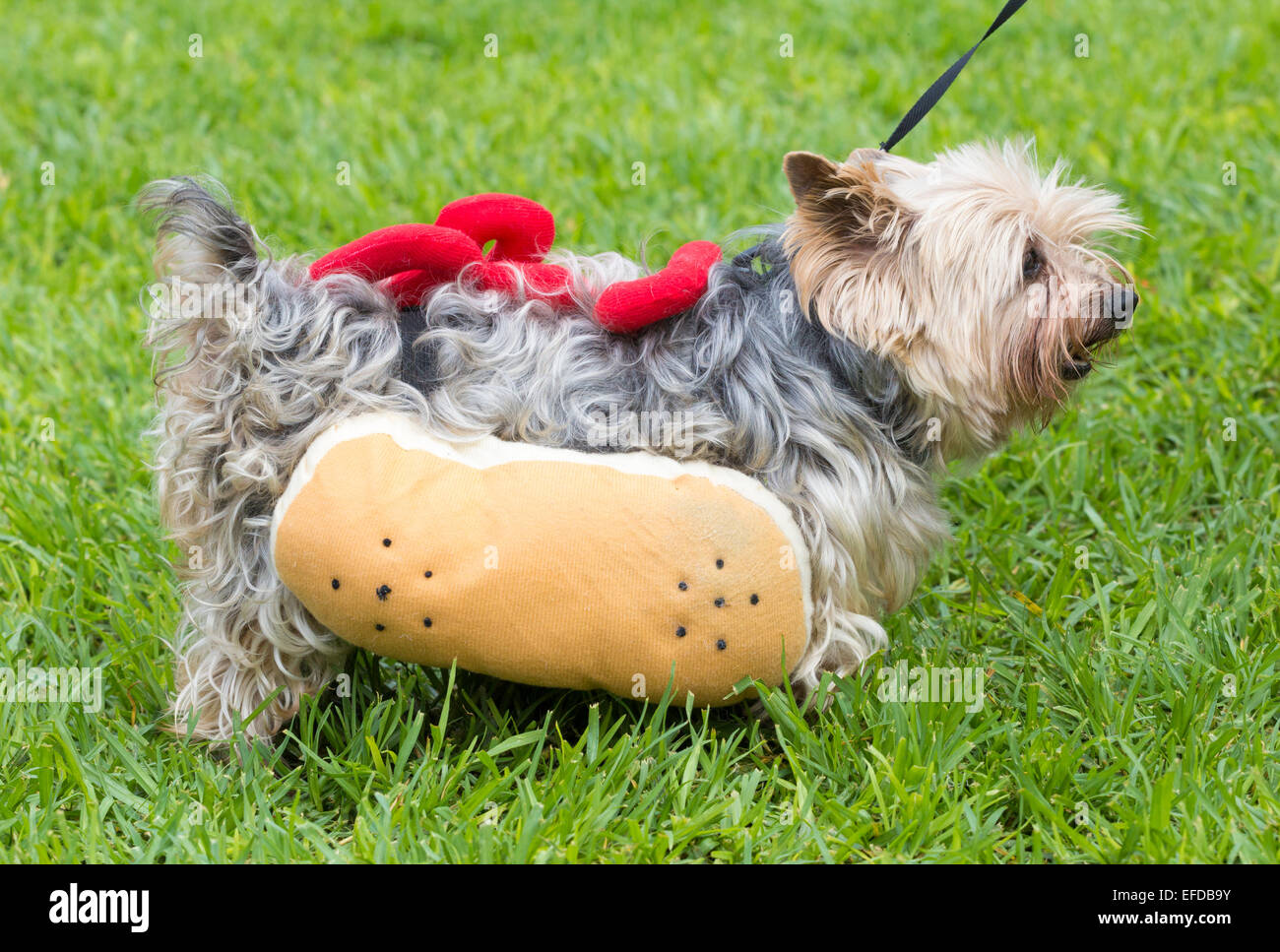 Yorkshire Terrier Dressed As Hot Dog At Dog Stock Photo 78355591