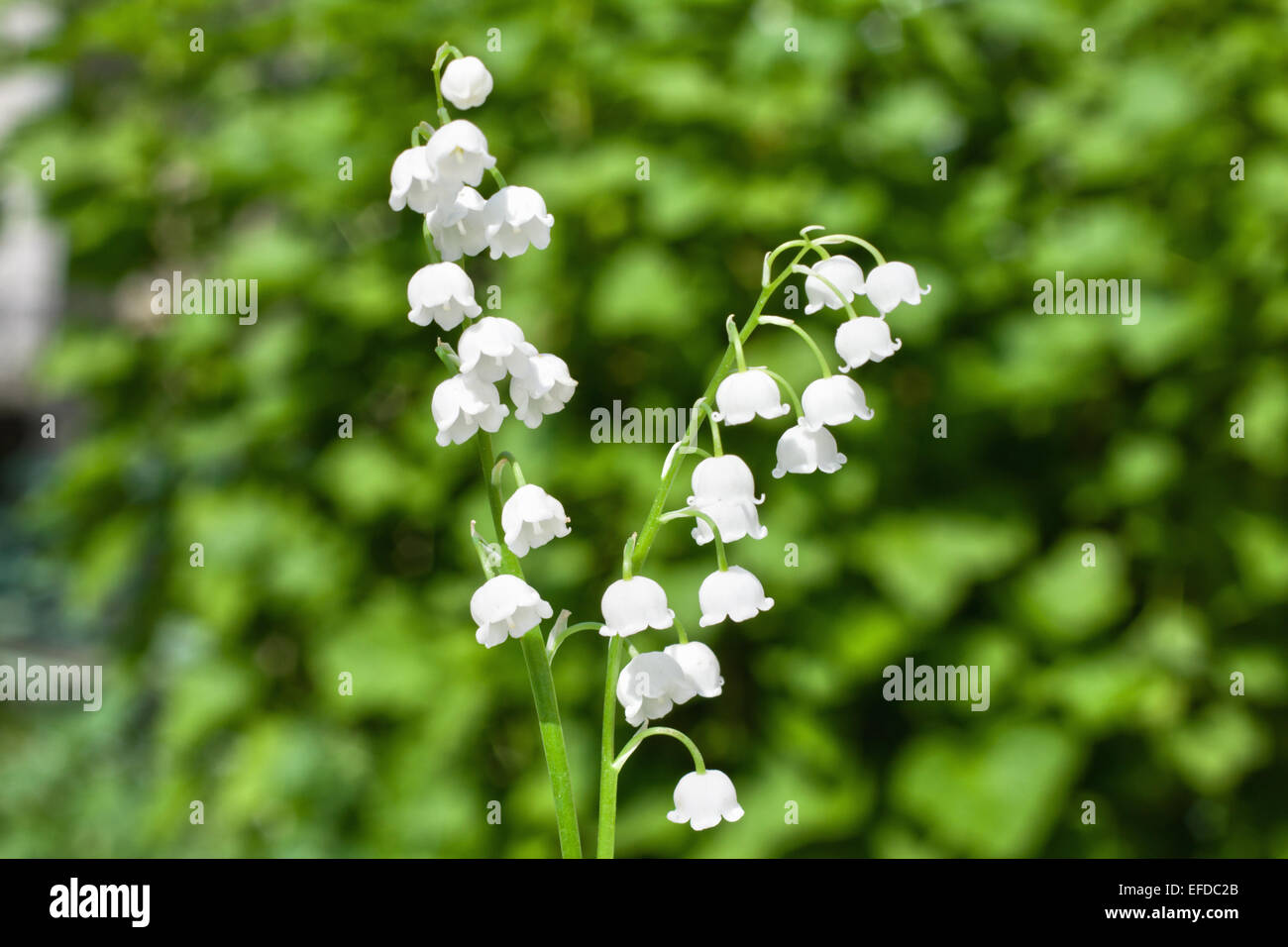 Wild Lily Valley Flowers Growing Stock Photos Wild Lily Valley