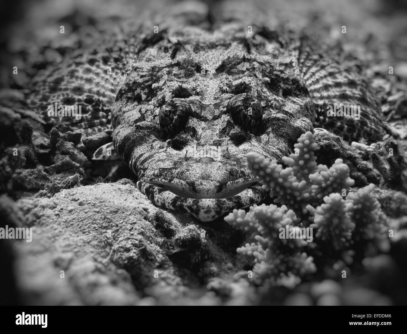 Red Sea Crocodilefish - Stock Image