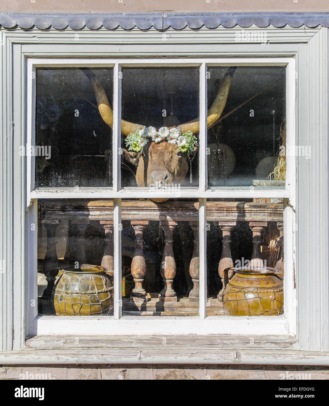 Eclectic window dressing of an antique and paraphernalia shop in Hay on Wye UK with garlanded bull's head and - Stock Image
