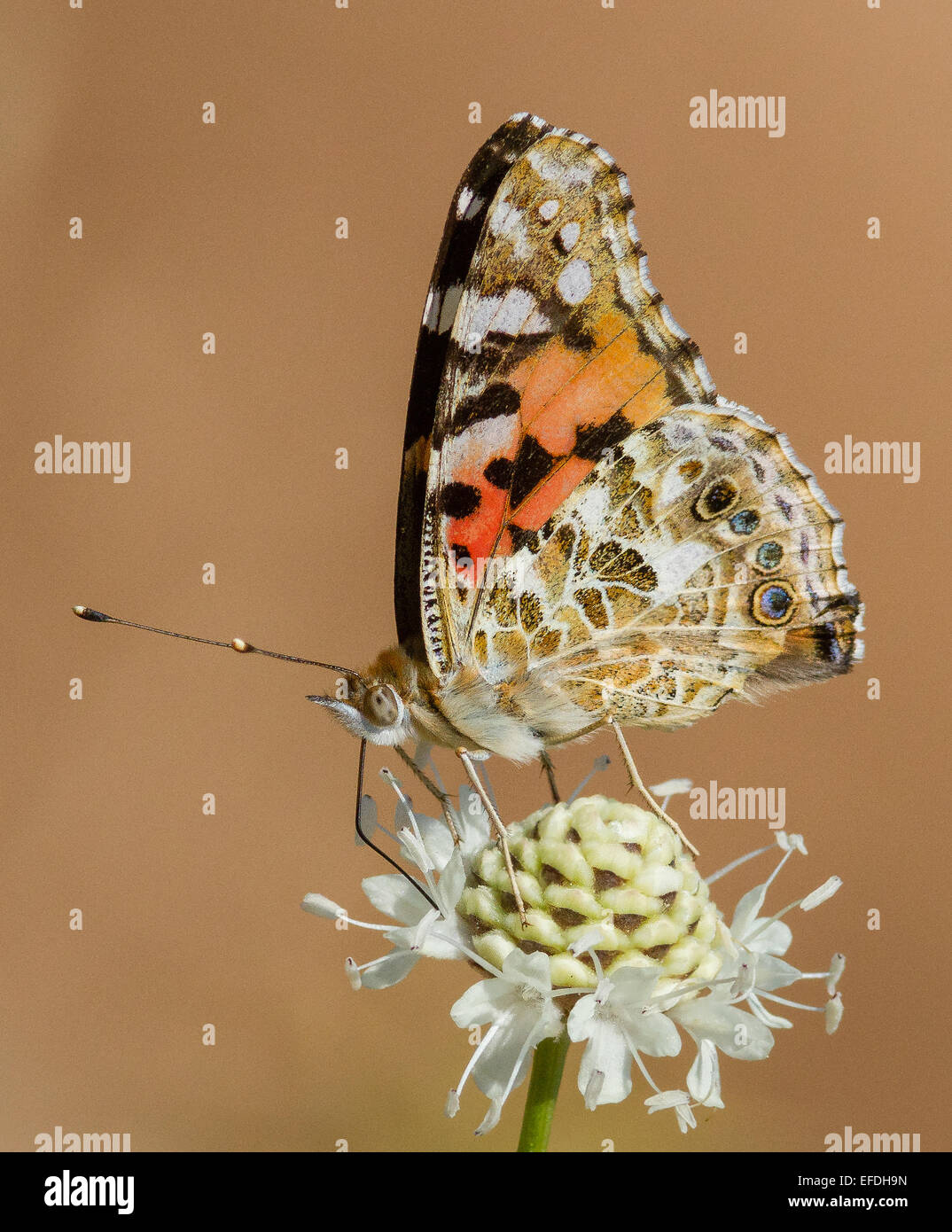 Painted Lady butterfly feeding - Stock Image
