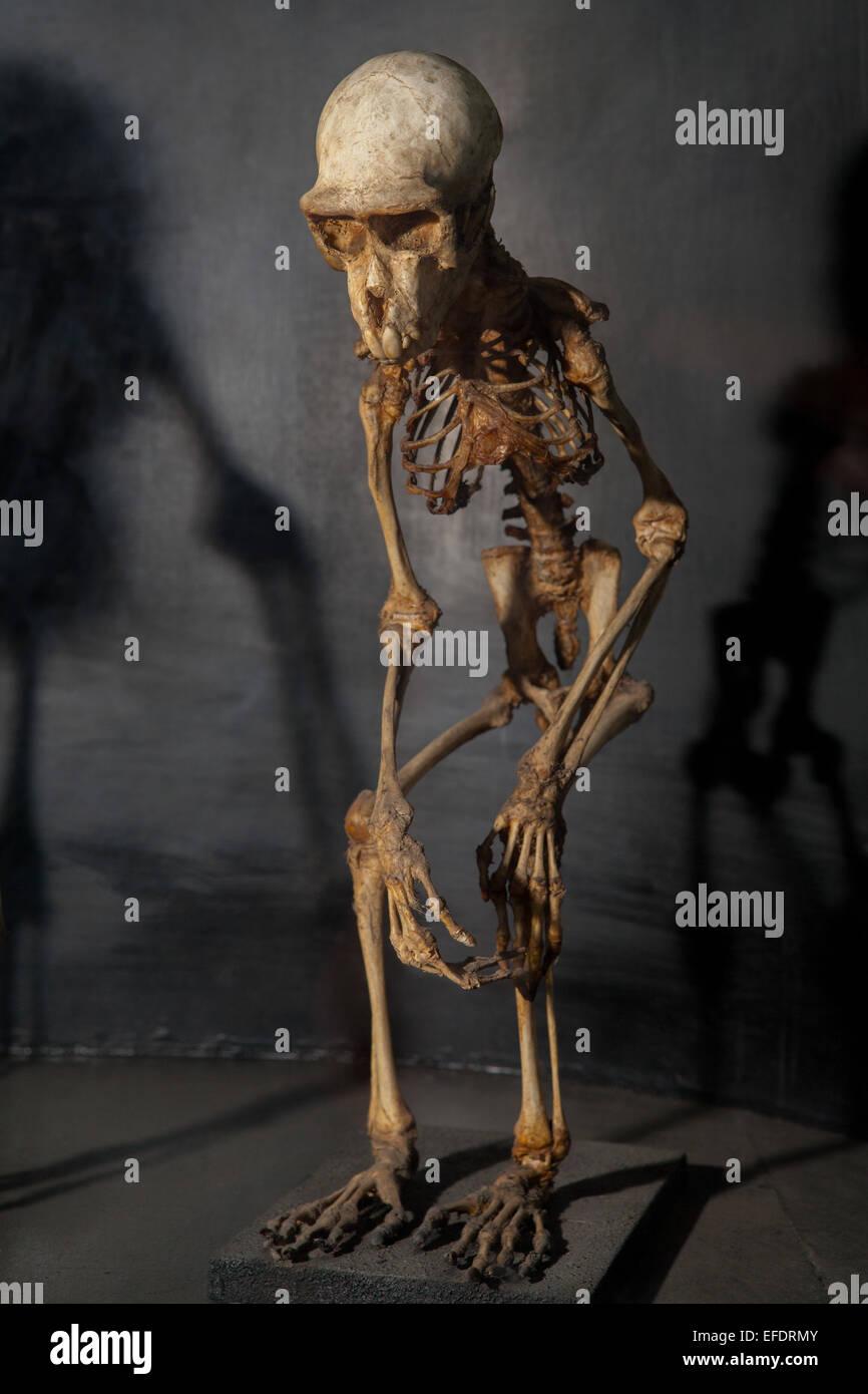 Monkey skeleton at Zoology Museum, Bogor. - Stock Image