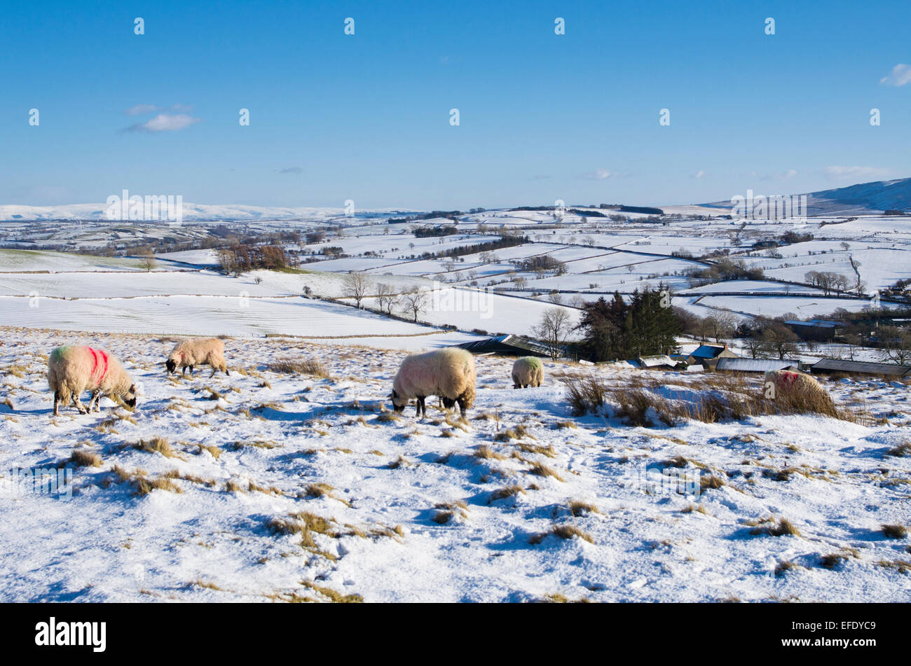 Lake District, Cumbria, UK. 1st February, 2015. UK Weather: After recent snowfall, sheep graze in snow on high moorland - Stock Image