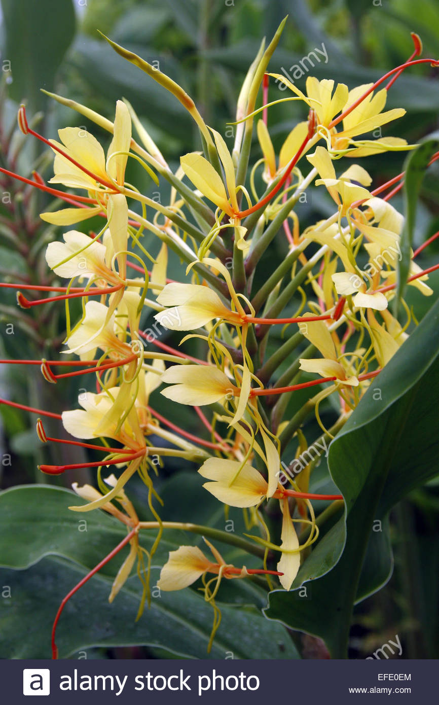 Herbaceous Perennial Fragrant Scented Lily Scent Perfume Perfumed