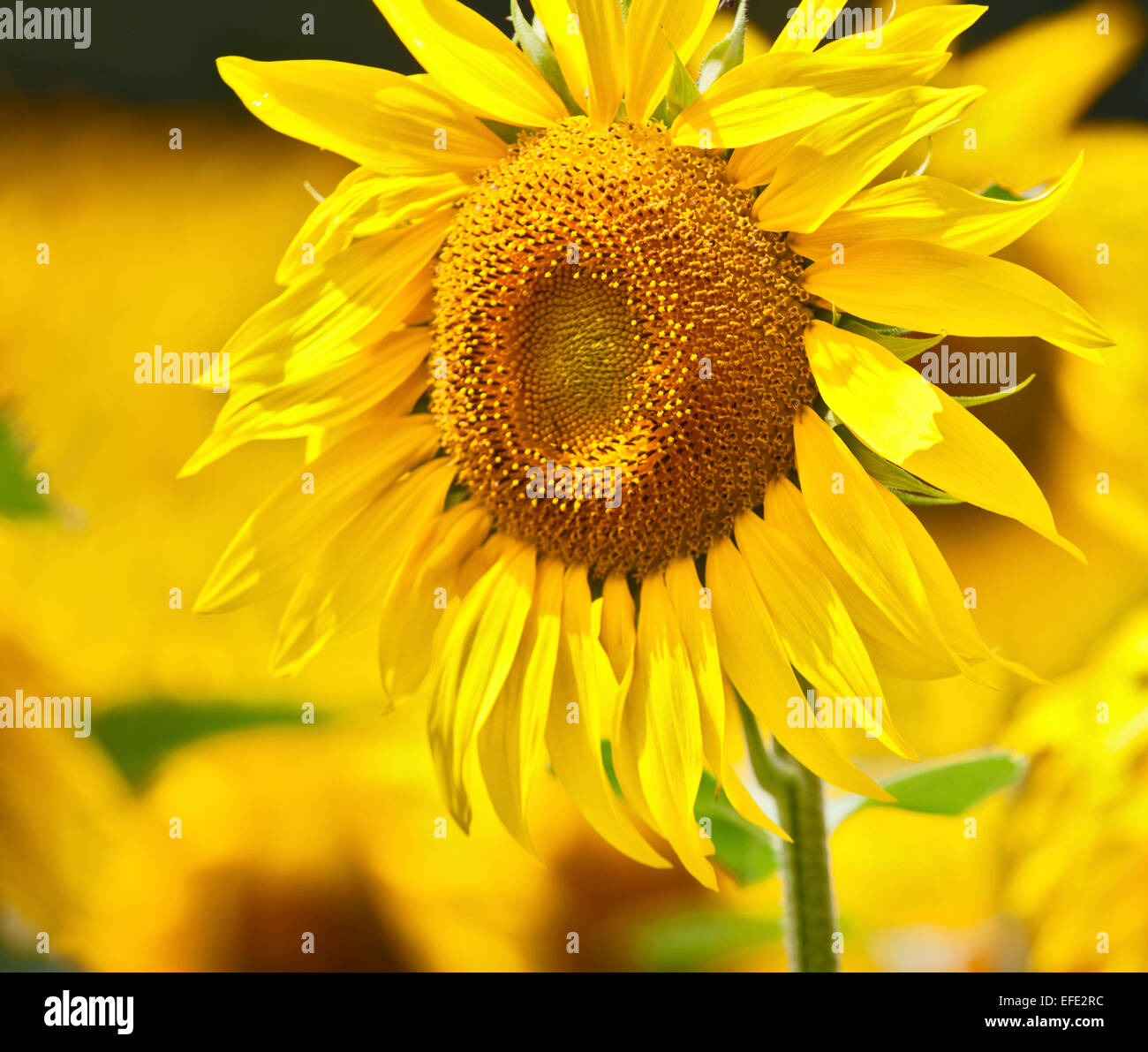 Bright yellow sunflower in a field in France - Stock Image
