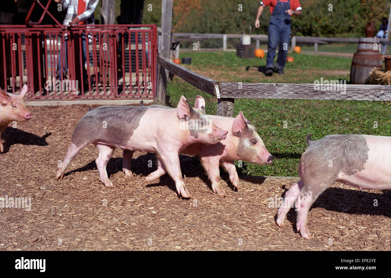 Pig racing event at Eckerts Farm in Illinois. - Stock Image