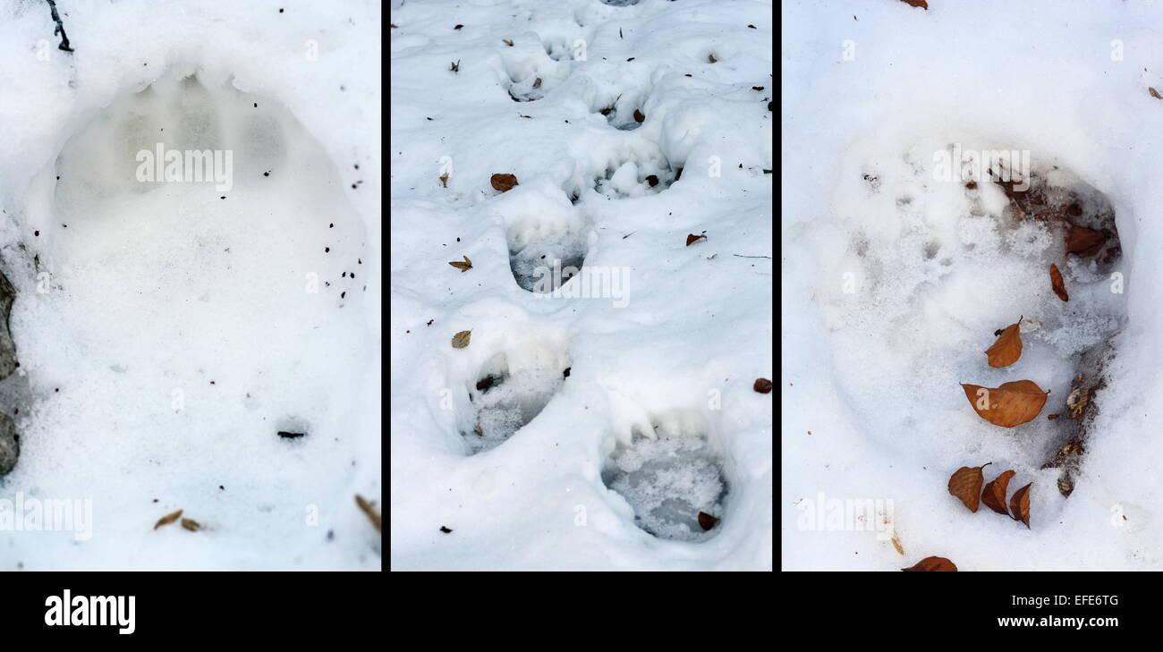 details of bear ( ursus arctos ) tracks in snow, images taken in Apuseni mountains - Stock Image
