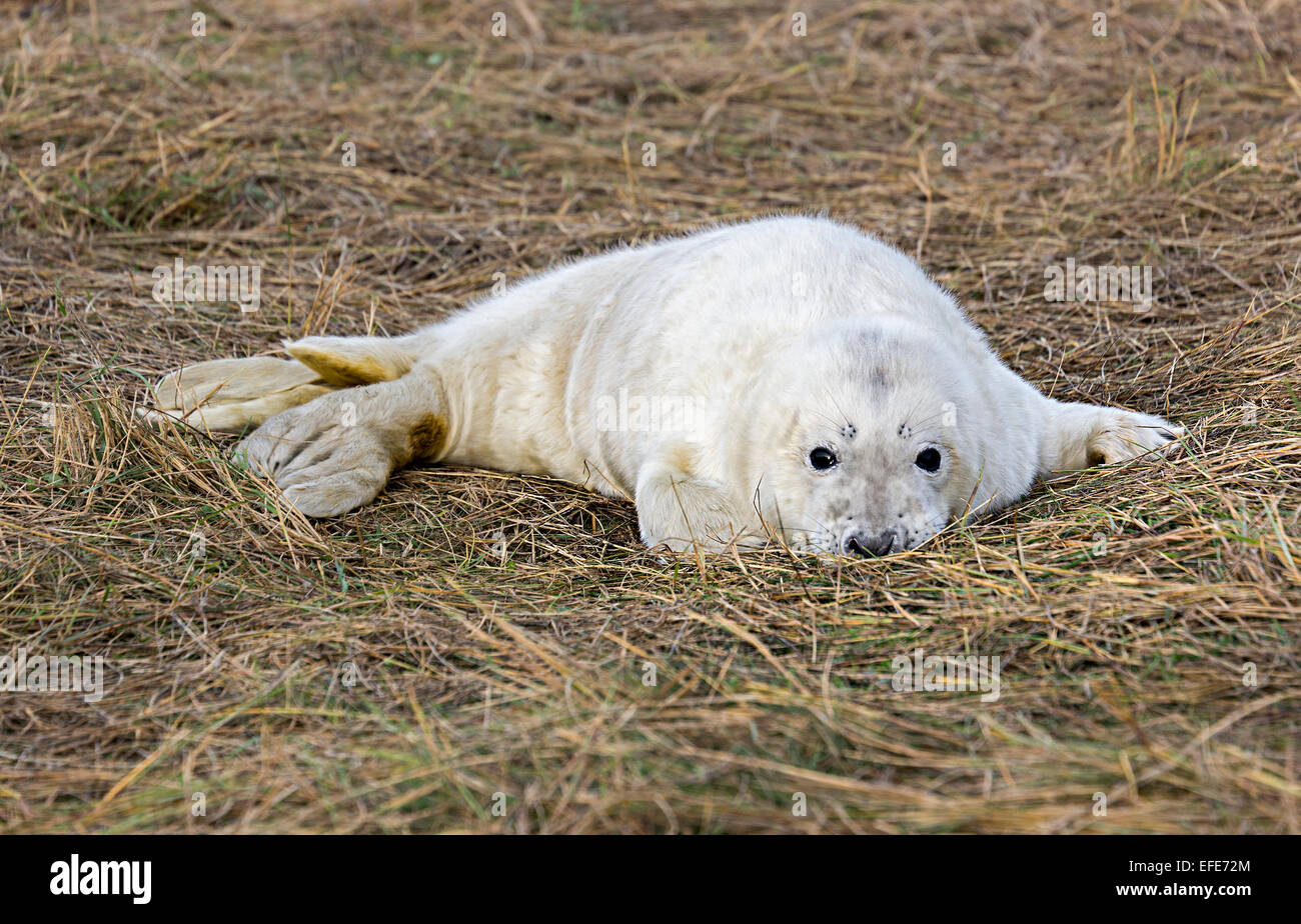 Grey seal, Halichoerus grypus, Donna Nook national nature reserve, Lincolnshire, England, UK Stock Photo