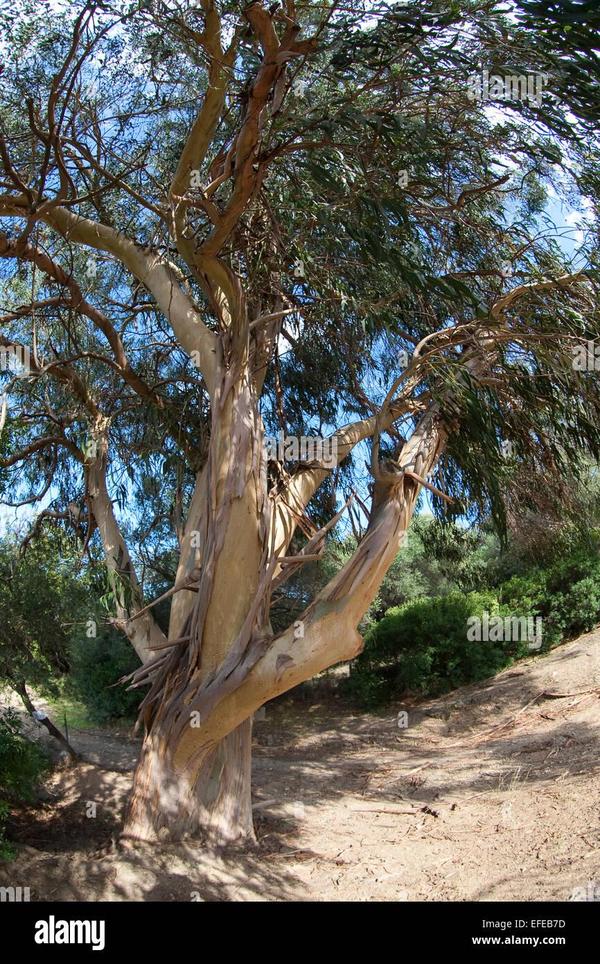Tasmanian Blue Gum, Southern eucalyptus, Blauer Eukalyptus, Tasmanischer Blaugummibaum, Fieberbaum, Eucalyptus globulus - Stock Image