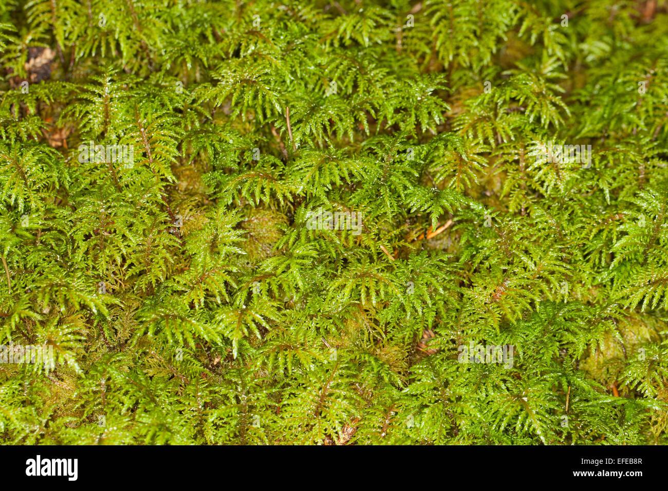 Glittering Wood-moss, Stair-step Moss, Fern Moss, feather moss, Etagenmoos, Hylocomium splendens, Hylocomium proliferum - Stock Image