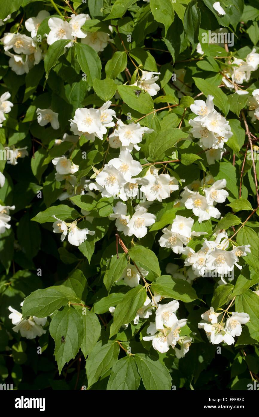 Sweet Mock Orange, Falscher Jasmin, Gewöhnlicher Pfeifenstrauch, Philadelphus coronarius, Seringat des jardins - Stock Image