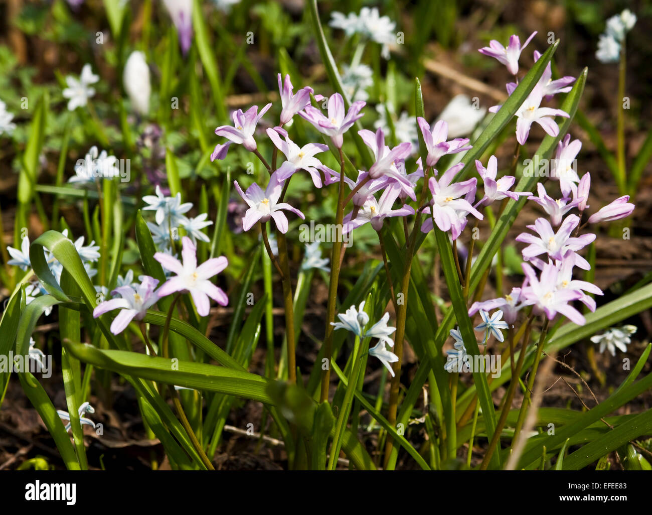 Wild First Spring Flowers Puschkinia Scilloides White Colour Stock