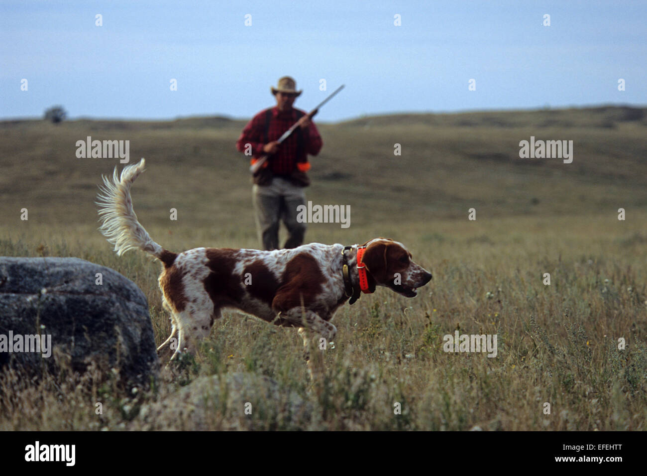 A pheasant hunter approaches his English Setter hunting dog near Pierre South Dakota - Stock Image