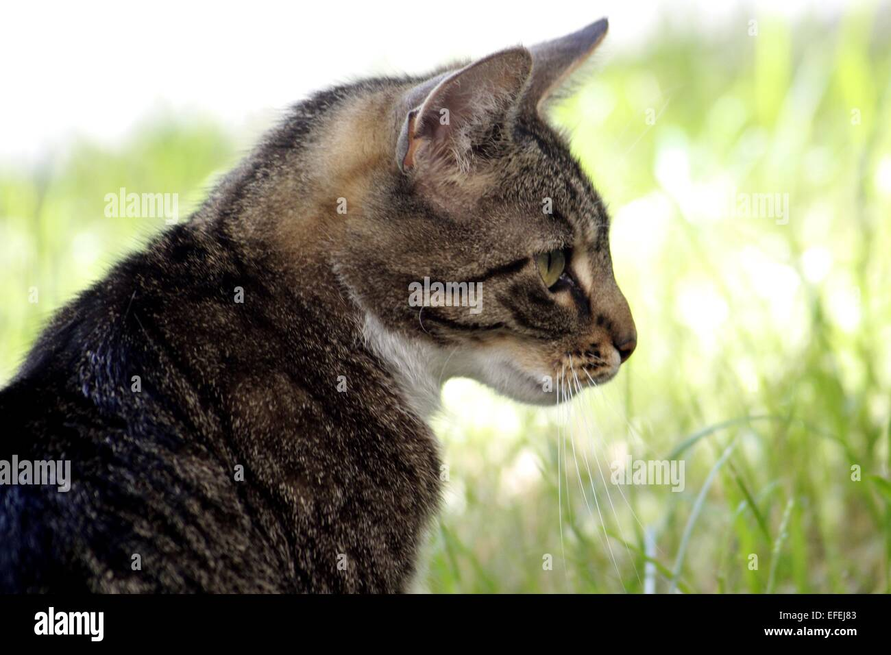 Pet cat outside in daylight - Stock Image