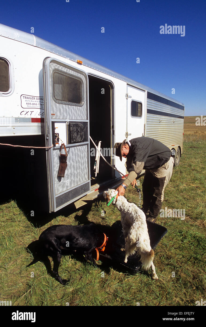 A grouse hunter preparing his English Setter Hunting dogs near Pierre South Dakota - Stock Image