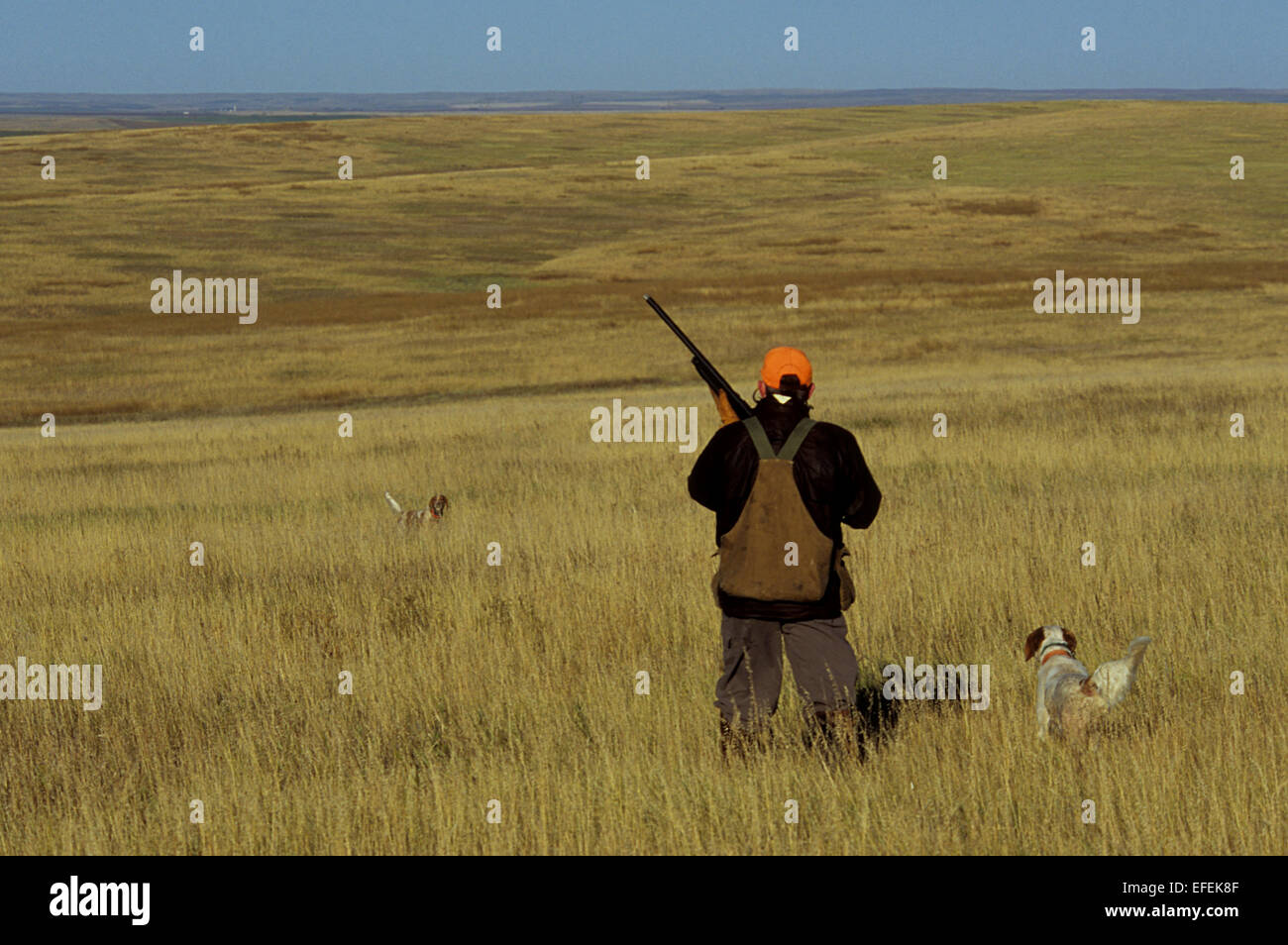 A grouse hunter approaches his English Setter hunting dogs near Pierre South Dakota - Stock Image