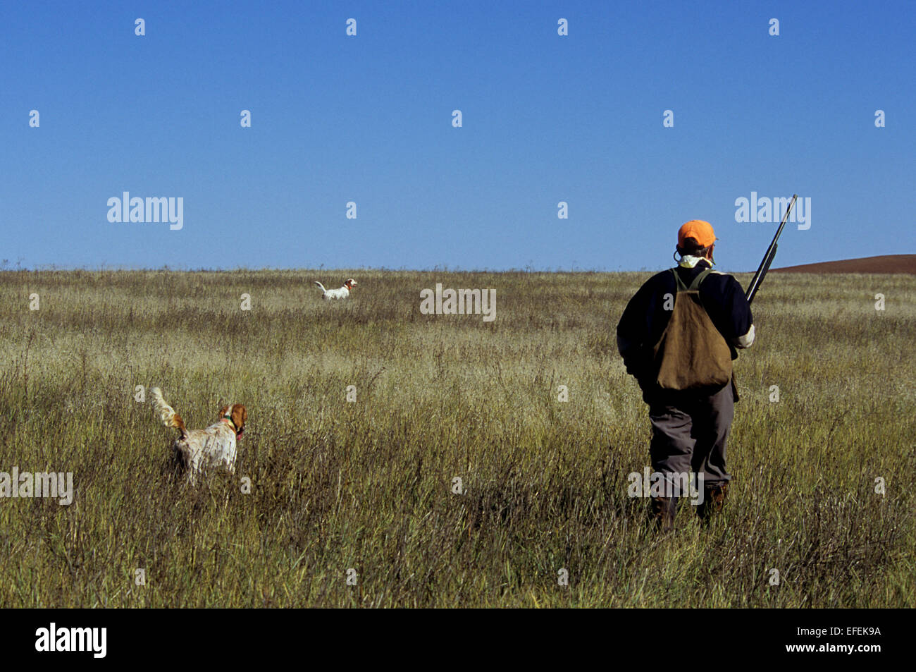 A grouse hunter approaches his English Setter dogs on point near Pierre South Dakota - Stock Image