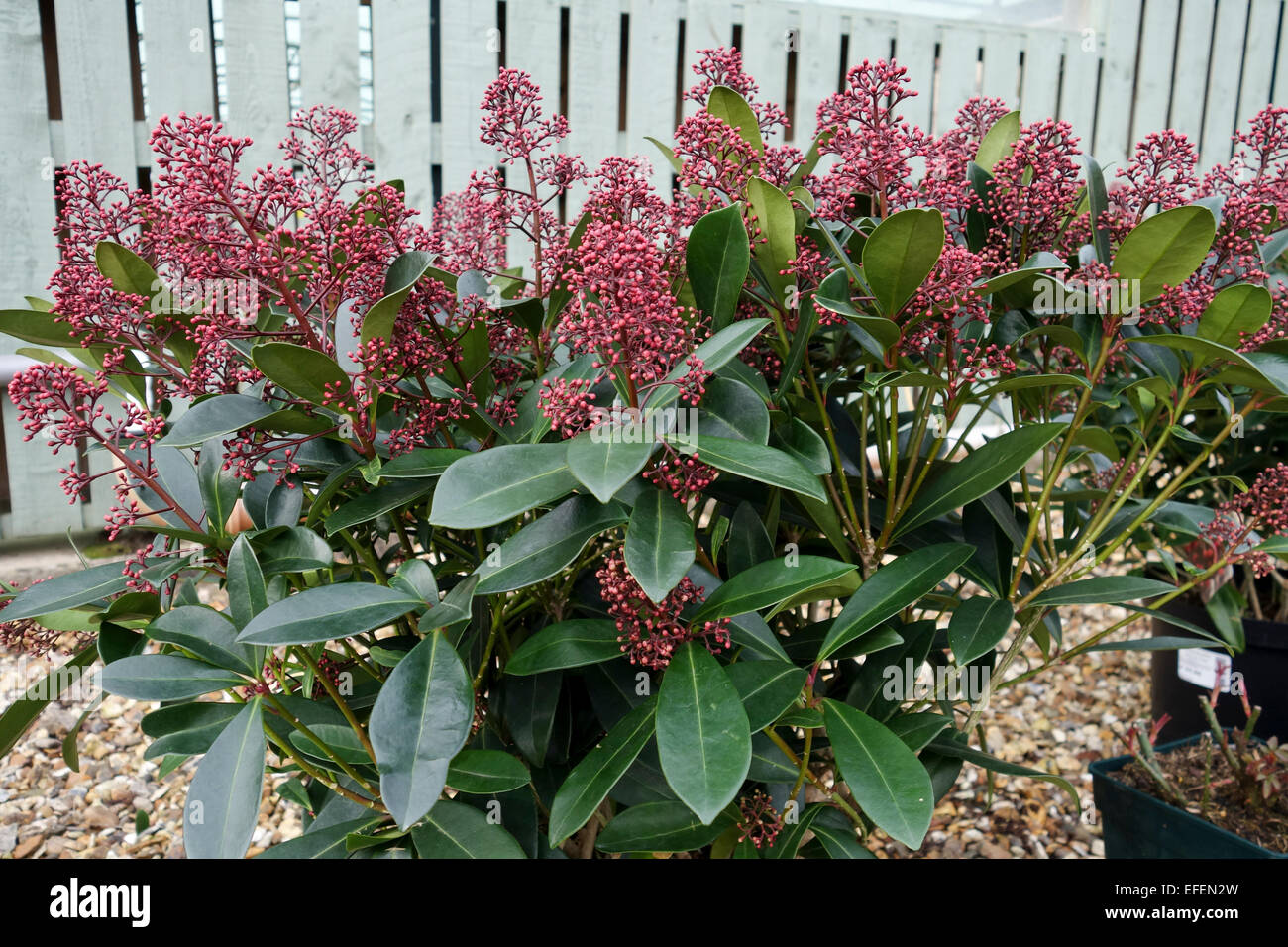 Skimmia japonica 'Rubella' evergreen shrub close up - Stock Image