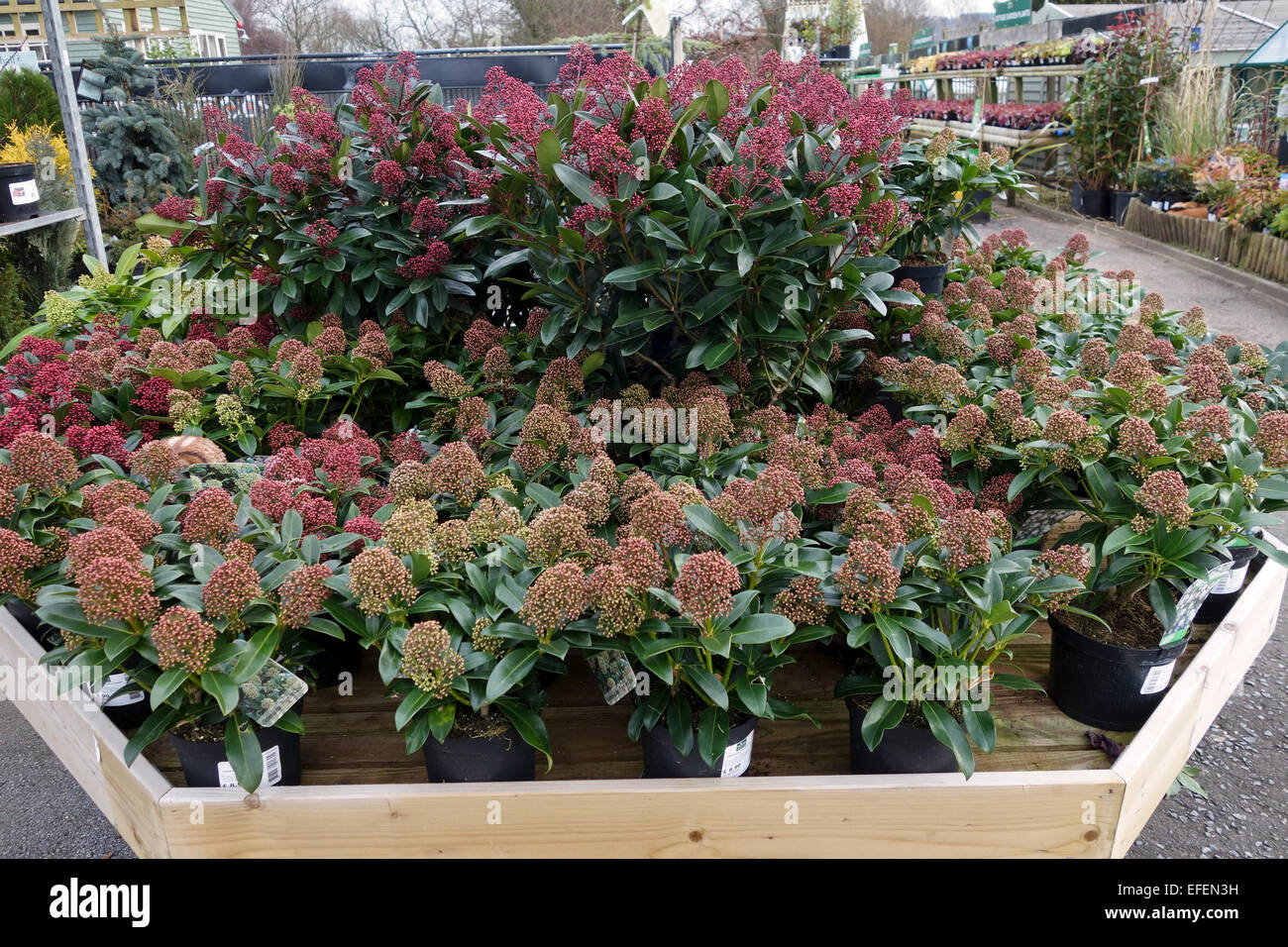 Skimmia japonica 'Rubella' & 'Fragrant Cloud' on san English garden centre - Stock Image