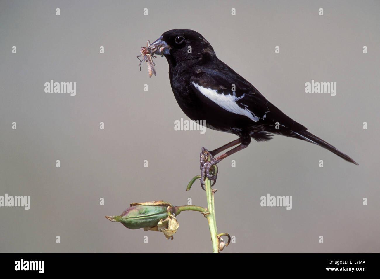 Lark Bunting - Calamospiza melanocorys - breeding male - Stock Image