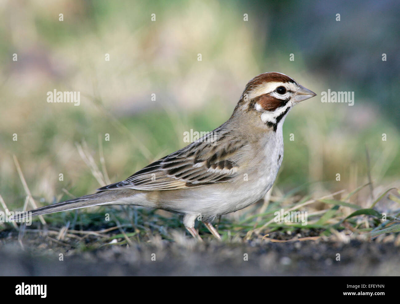 Lark Sparrow - Chondestes grammacusStock Photo