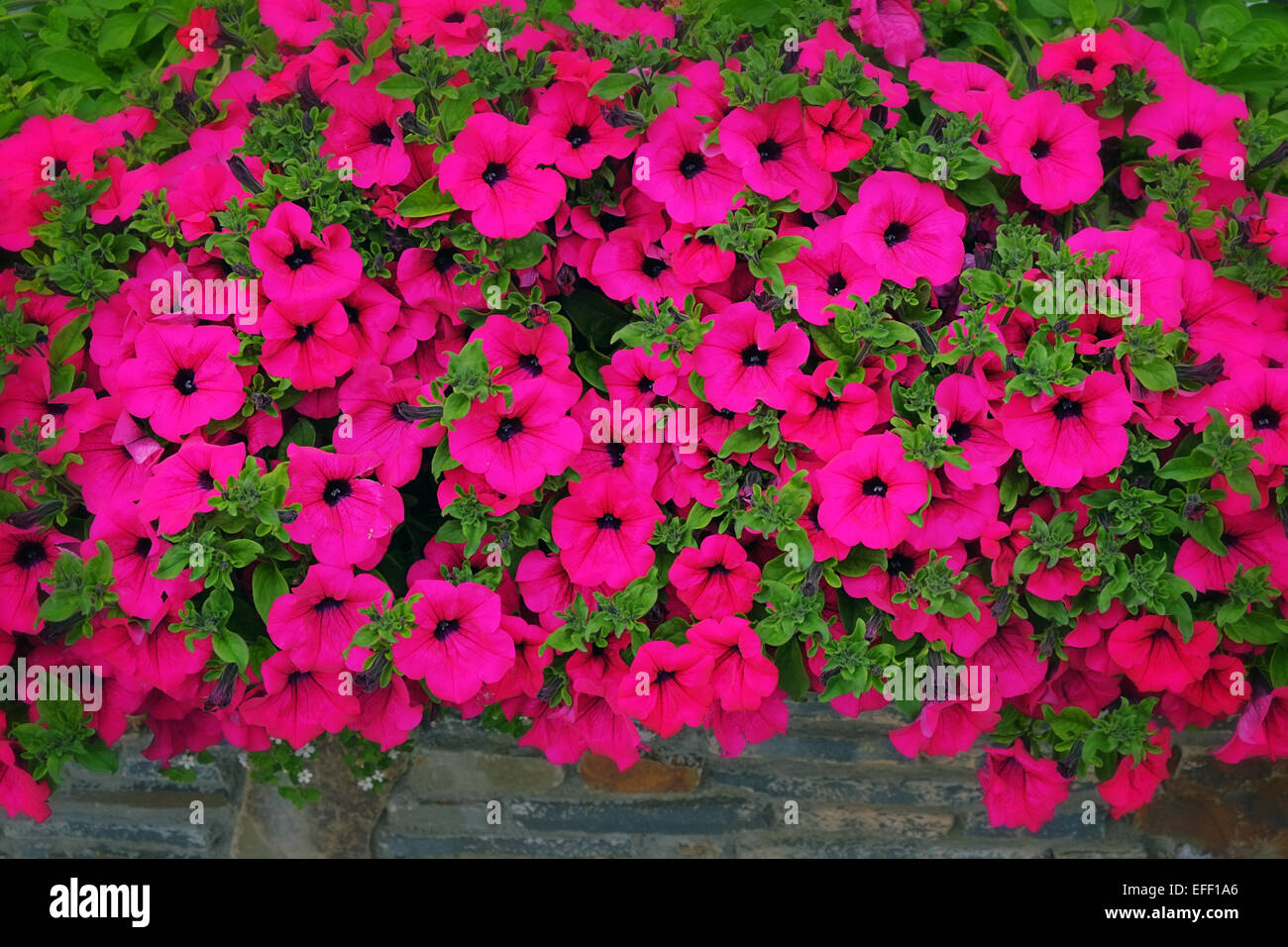 Petunia flower display outdoor window box Ireland Stock Photo