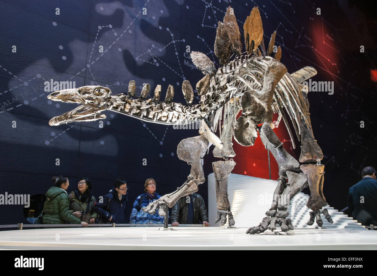 Complete stegosaurus skeleton (named Sophie) displayed at the Earth Hall in the Natural History Museum in London - Stock Image