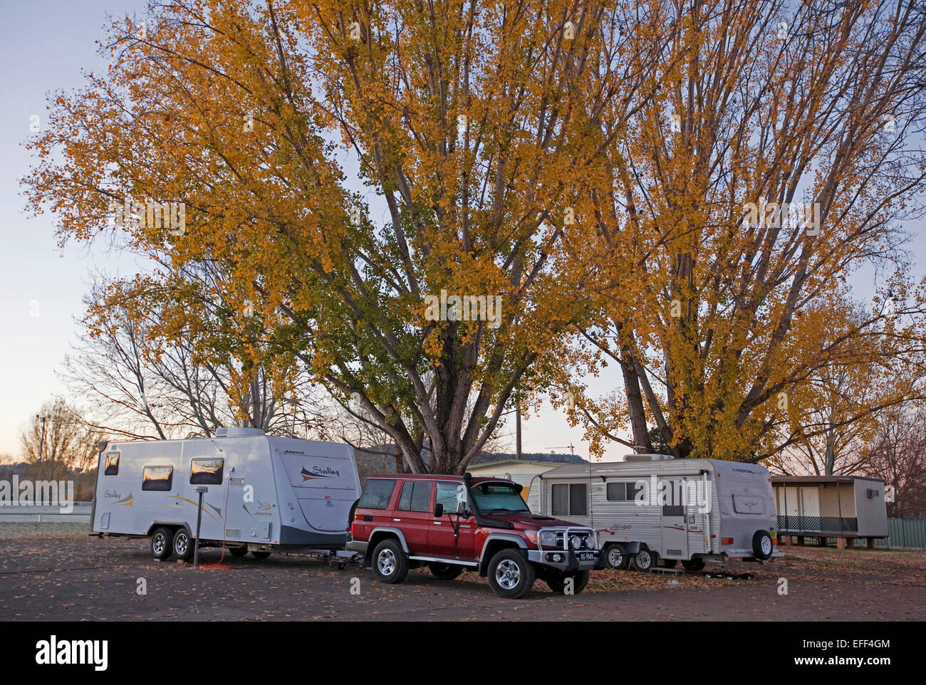 Caravans and red SUV / four wheel drive vehicle beside large trees with masses of golden autumn leaves in caravan - Stock Image