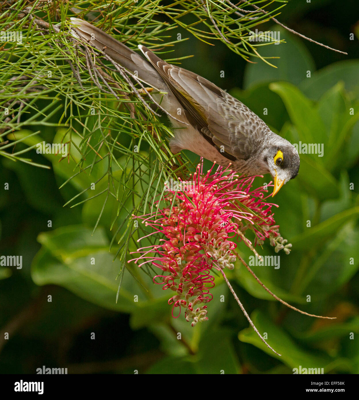 Australian Noisy miner bird, Manorina melanocephala feeding on nectar of red grevillea flower, against background - Stock Image
