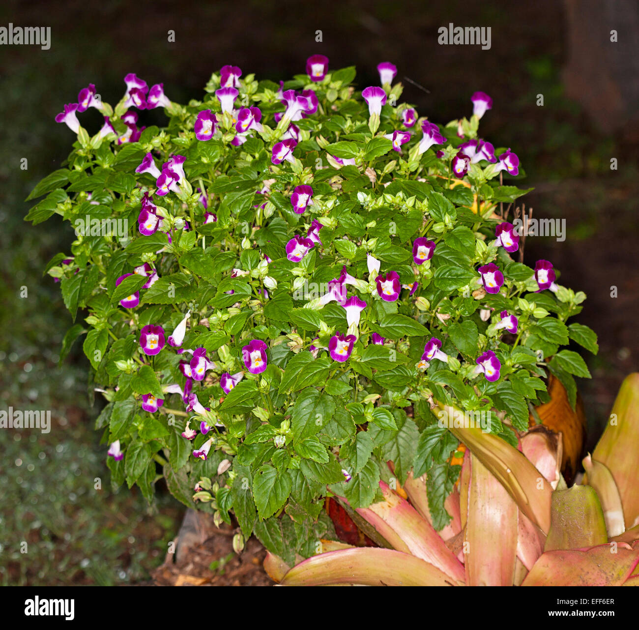Cluster of bright purple magenta and white flowers green leaves cluster of bright purple magenta and white flowers green leaves of torenia an annual garden plant against dark background mightylinksfo
