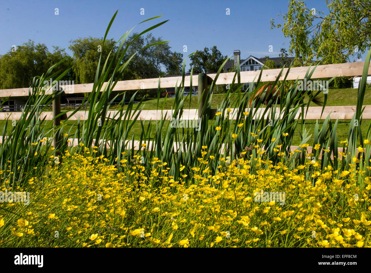Field Of Yellow Flowers And Grasses Against The Rail Fence Of A Farm