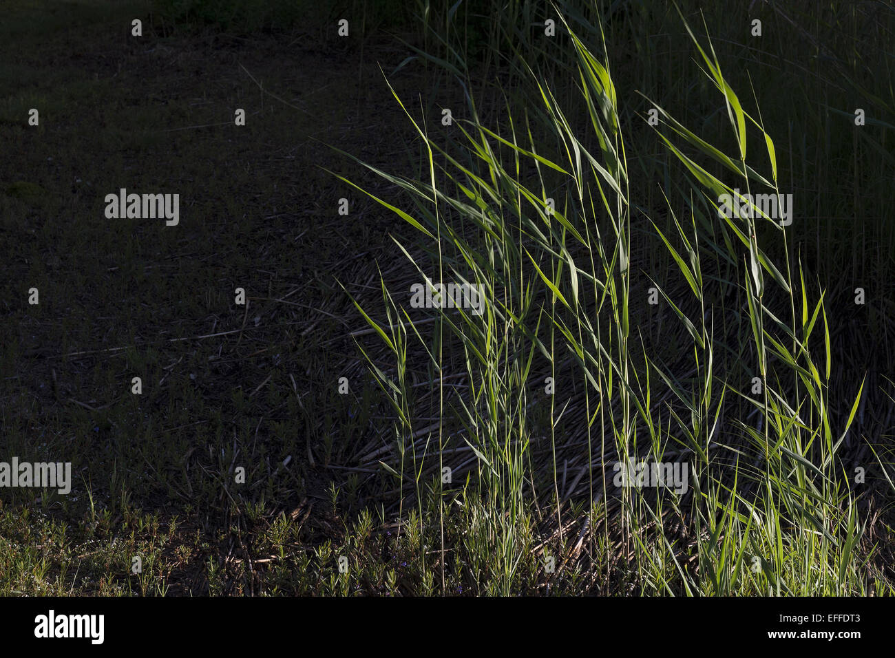 Reed is common name for several tall, grass-like plants of wetlands. They are all members of the order Poales - Stock Image