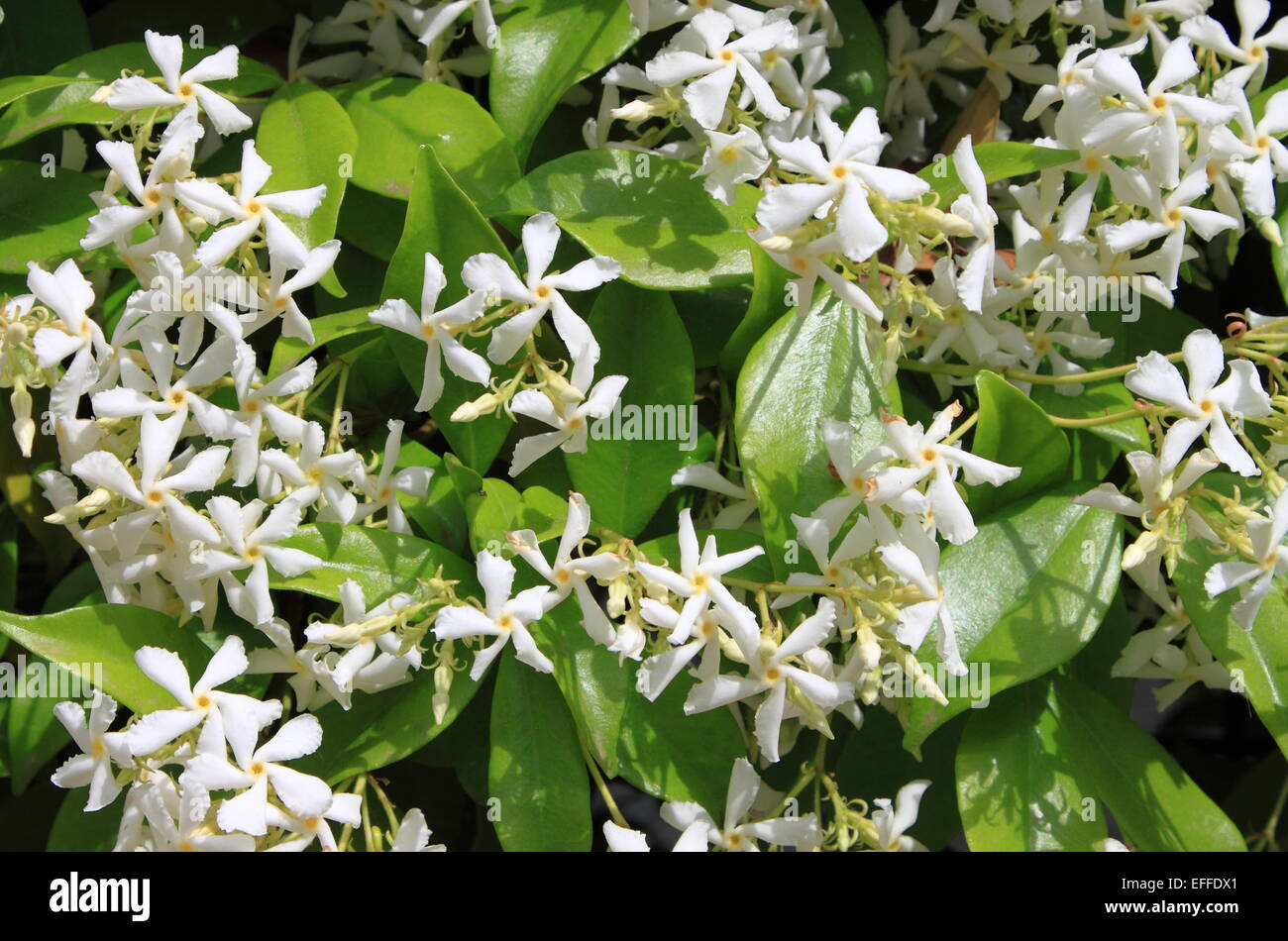 Closeup View Of A Bush Of Jasmine Flowers Stock Photo 78401513 Alamy