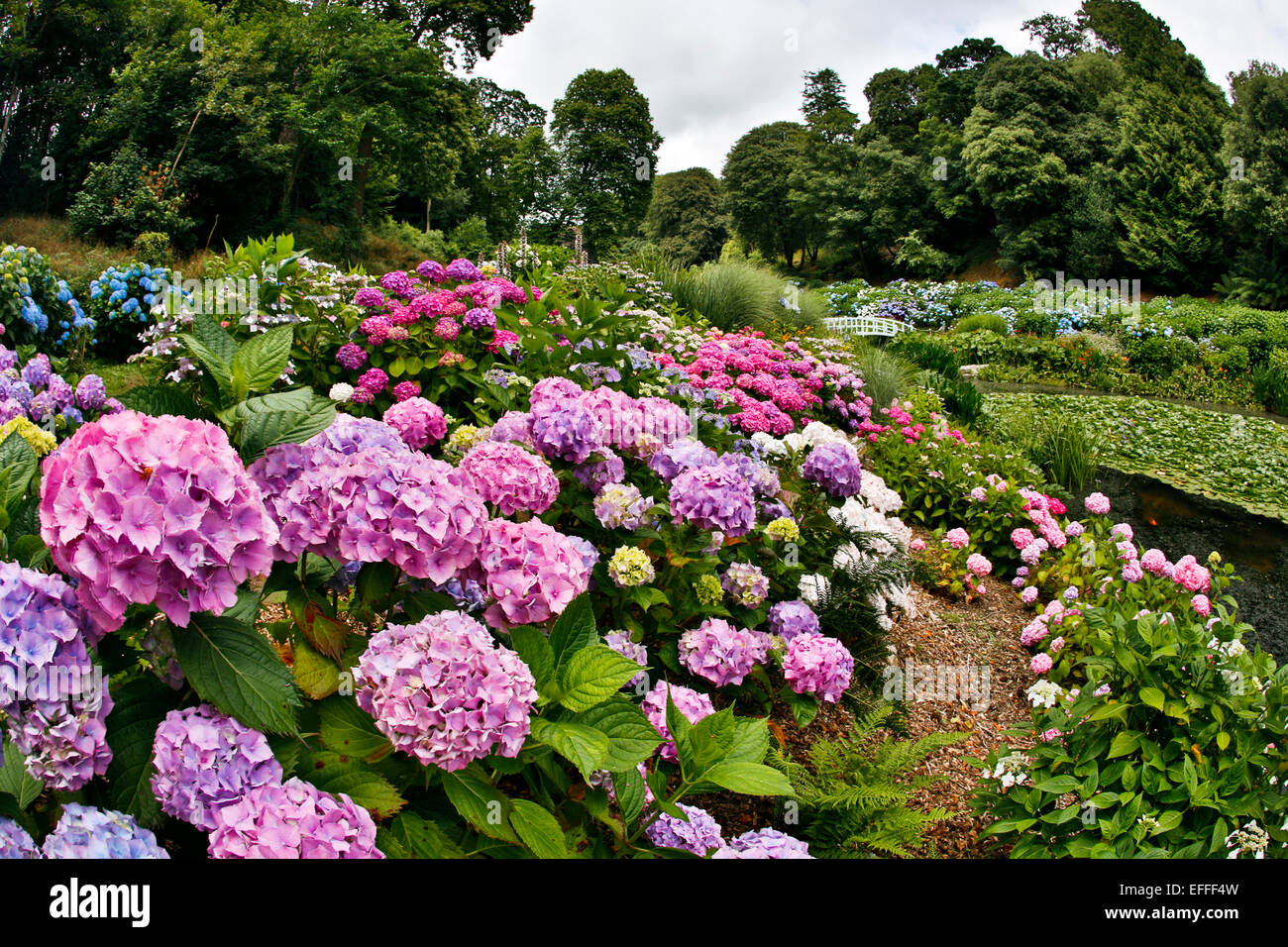 Trebah Garden Hydrangeas in Summer Cornwall; UK - Stock Image