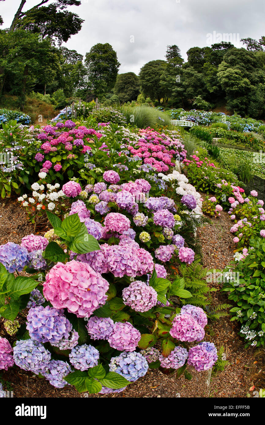 Trebah Garden Hydrangeas in Summer Cornwall; UK - Stock Image