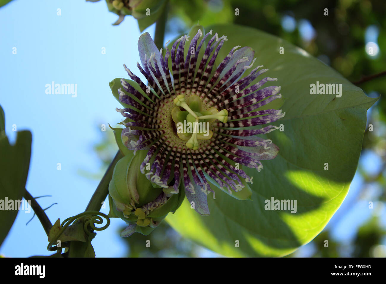 The blossom on a passion fruit tree in an orchard in Cotacachi, Ecuador - Stock Image