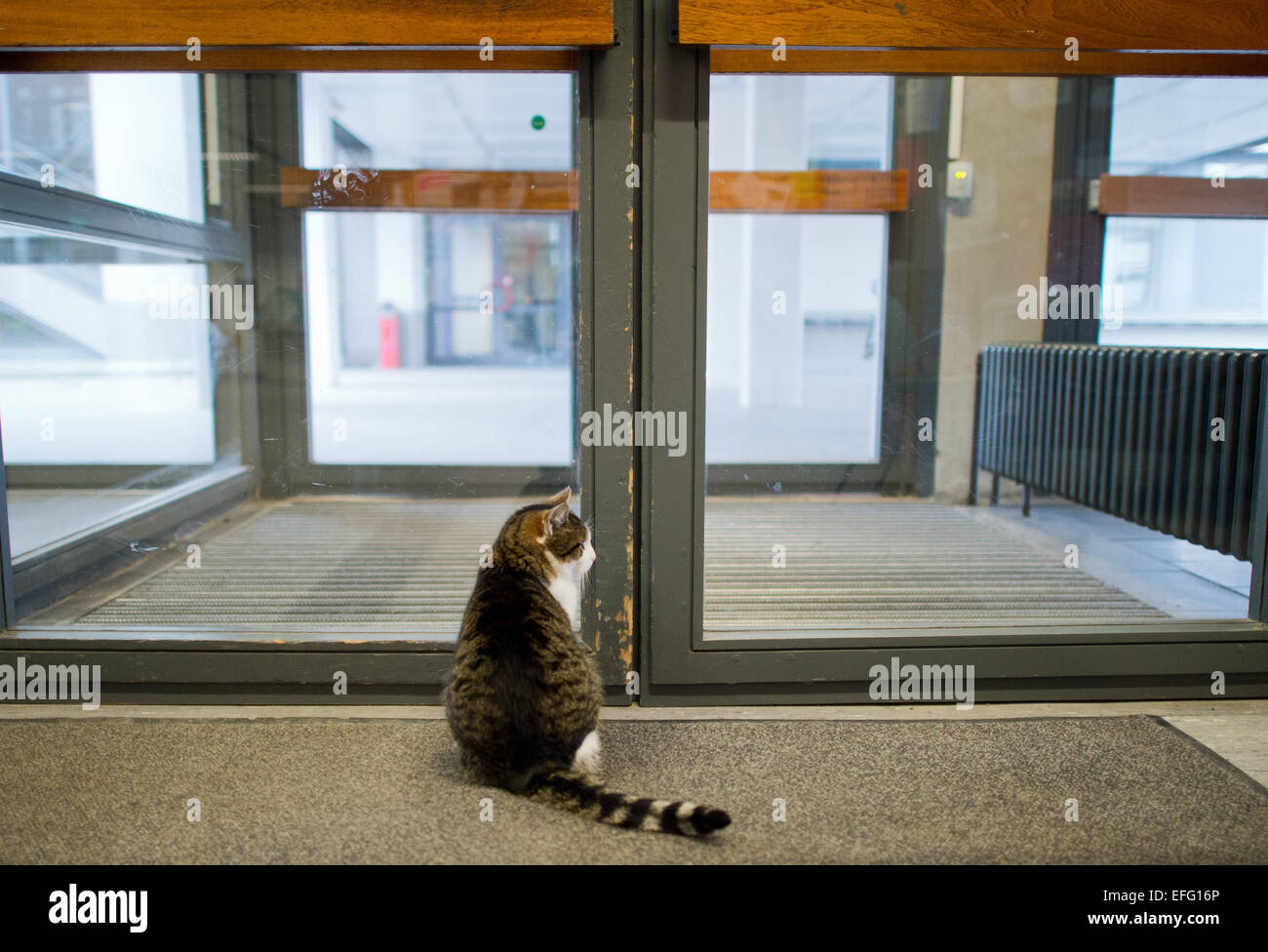 Hildesheim, Germany. 02nd Feb, 2015. Cat 'Fraeulein Sinner' sits in the University of Hildesheim and waits for someone Stock Photo