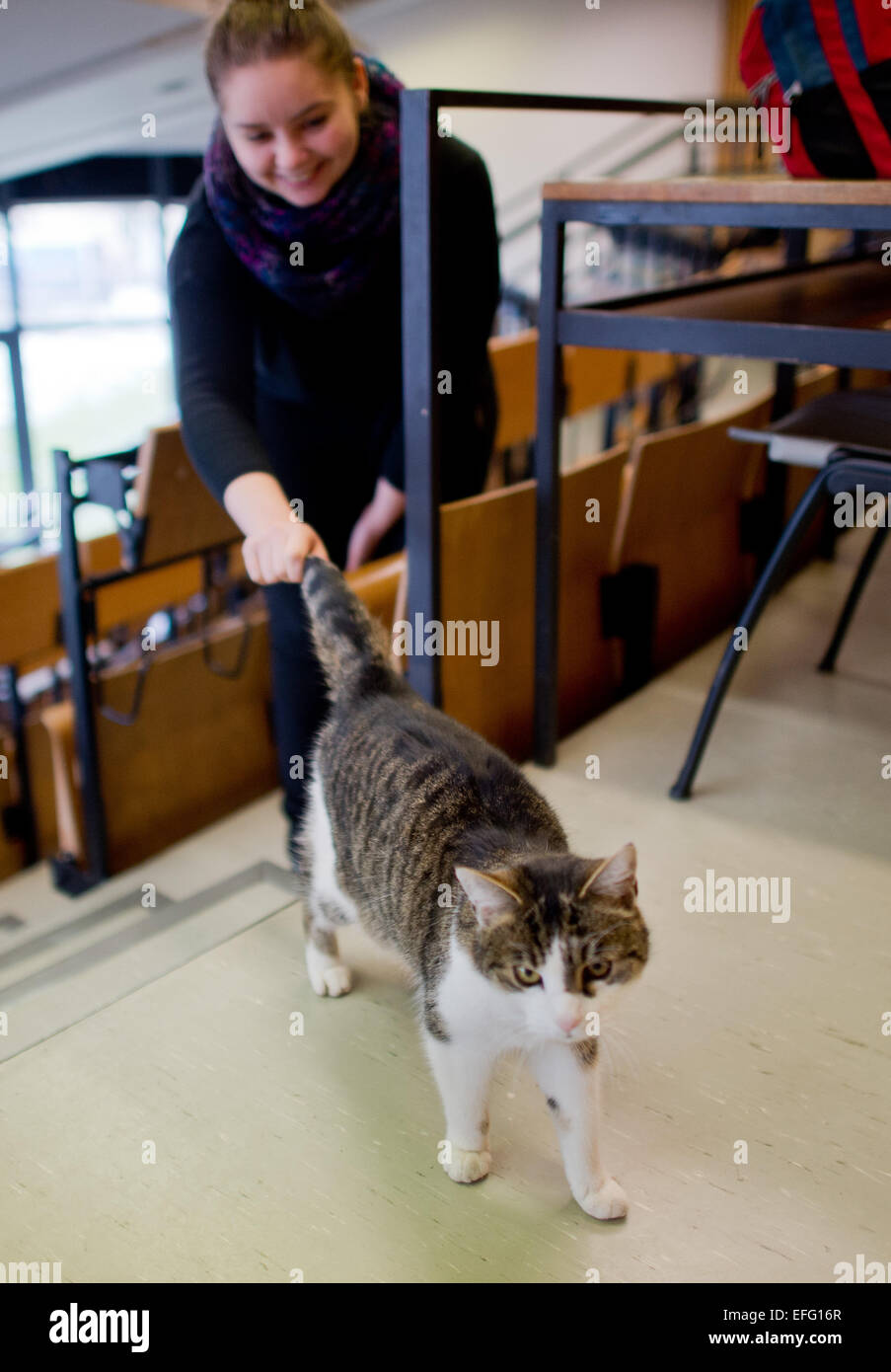 Hildesheim, Germany. 02nd Feb, 2015. Cat 'Fraeulein Sinner' walks past student Anna (24)in a lecture hall at the Stock Photo