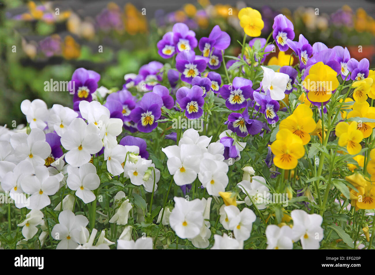 Flower bed with pansies in park in may - Stock Image