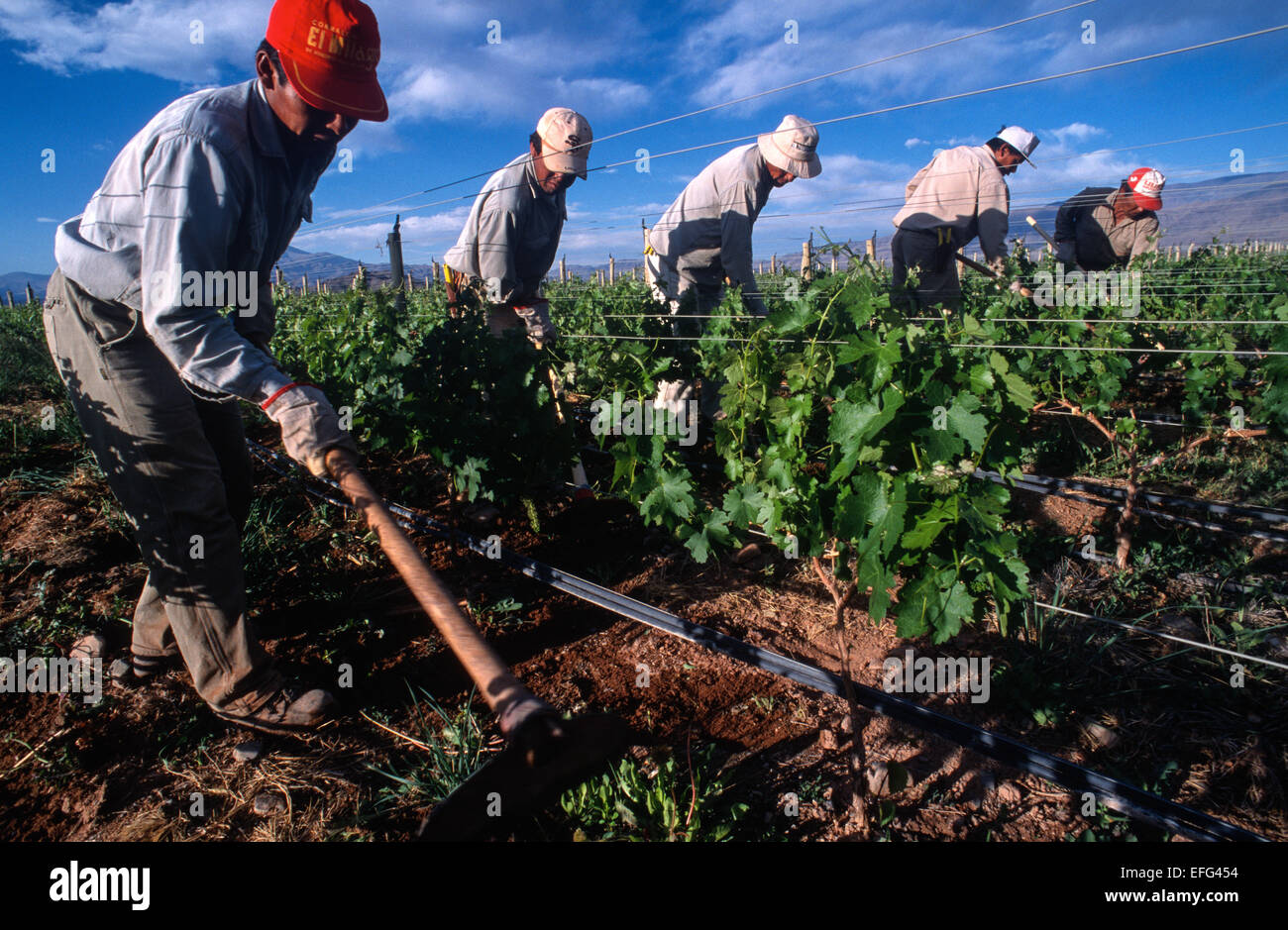 Men at work in a vineyard. Ranch Colome. Salta province, Argentina - Stock Image