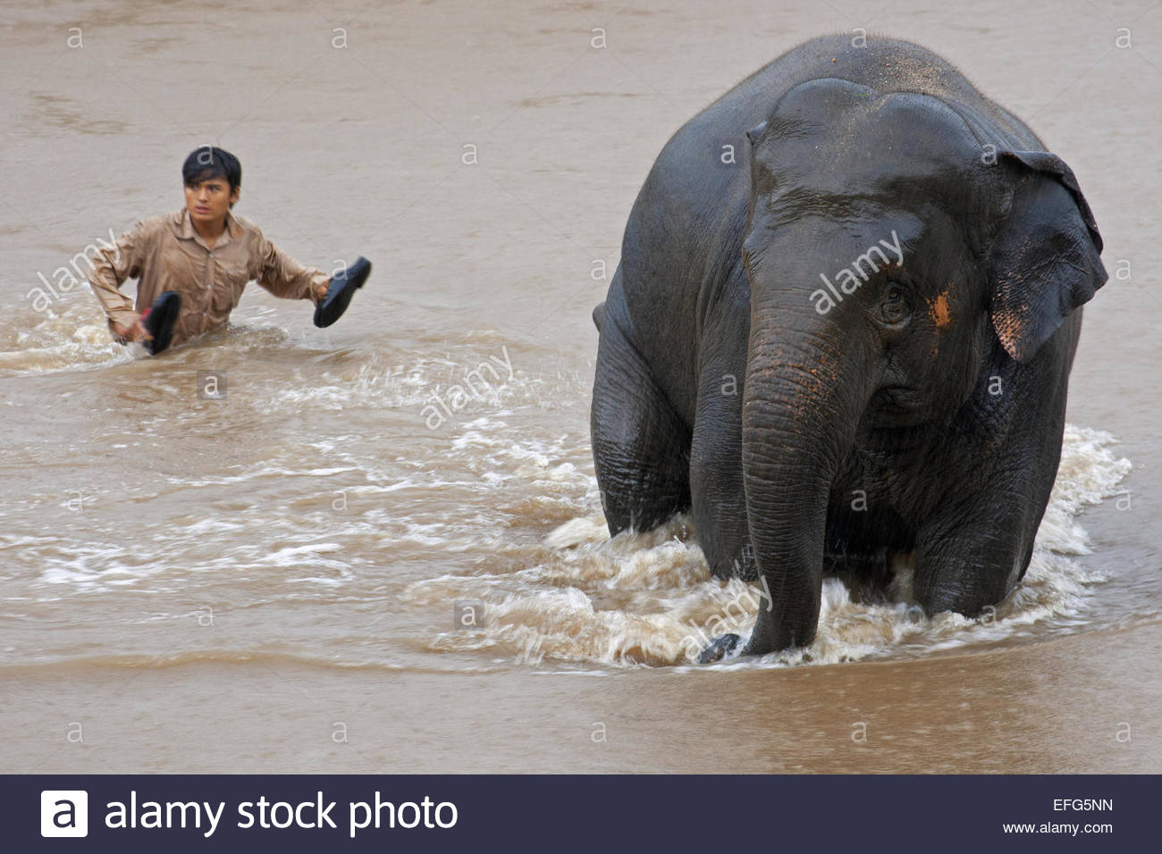 Asian elephant (Elephas maximus) crossing river followed by mahout - Stock Image