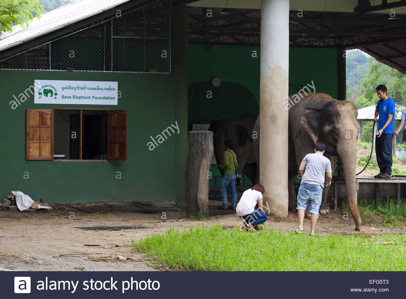 Asian elephant (Elephas maximus) inspected by vet at veterinary post in rescue and rehabilitation center in Chiang - Stock Image