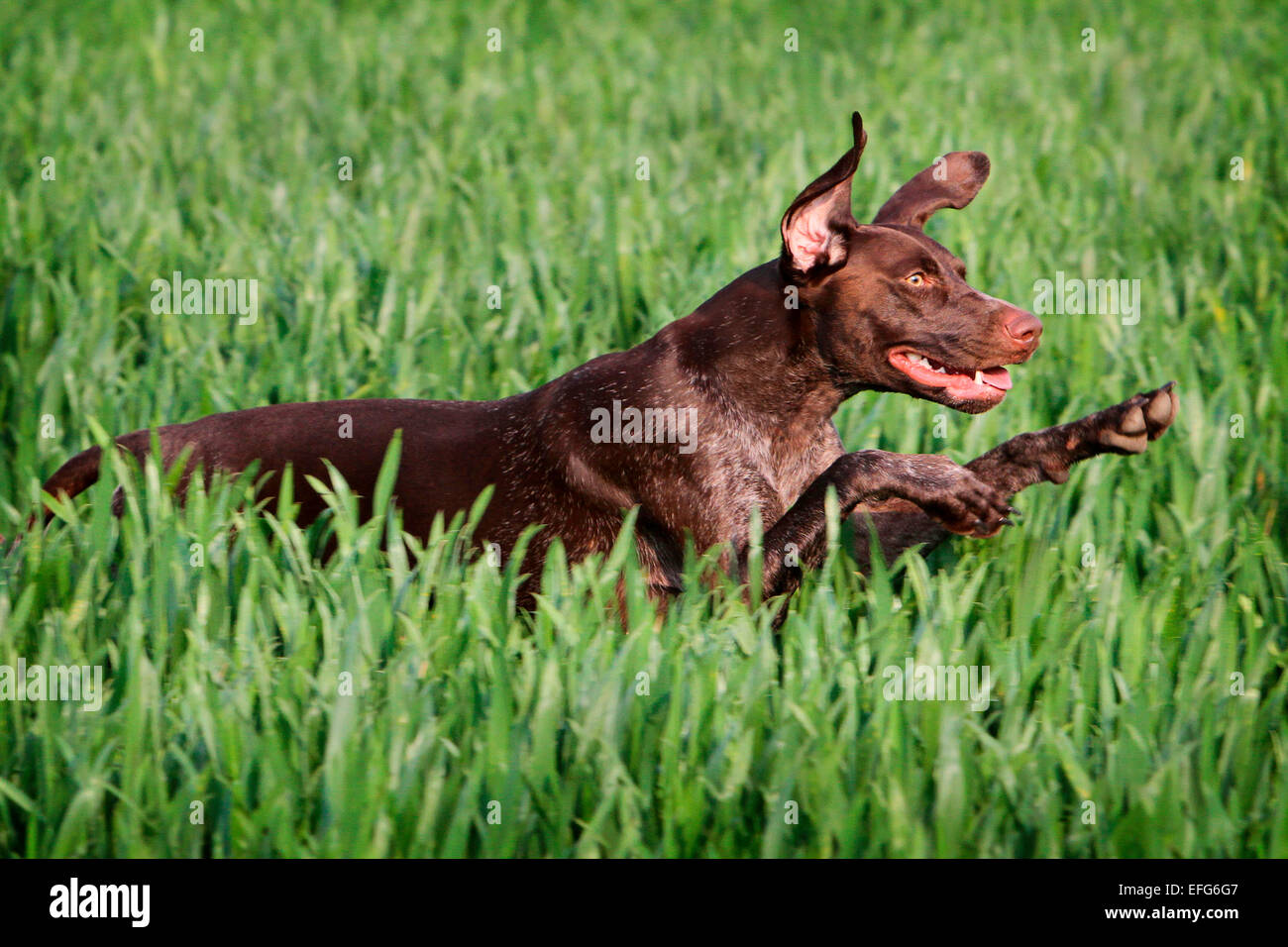 German pointer dog running and leaping through wheat field - Stock Image