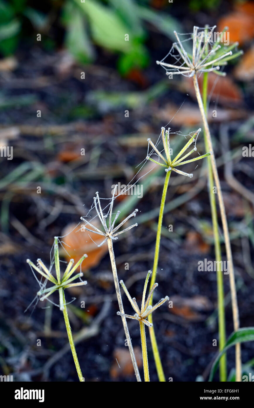 frost frosty frosted agapanthus flower stems stalks winter interest feature garden gardening RM Floral - Stock Image