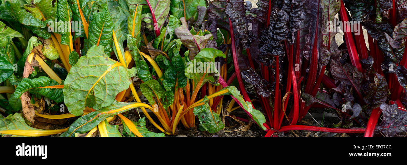 beta vulgaris subsp cicla chard yellow red leaves foliage edible vegetables  veg veggies RM Floral - Stock Image