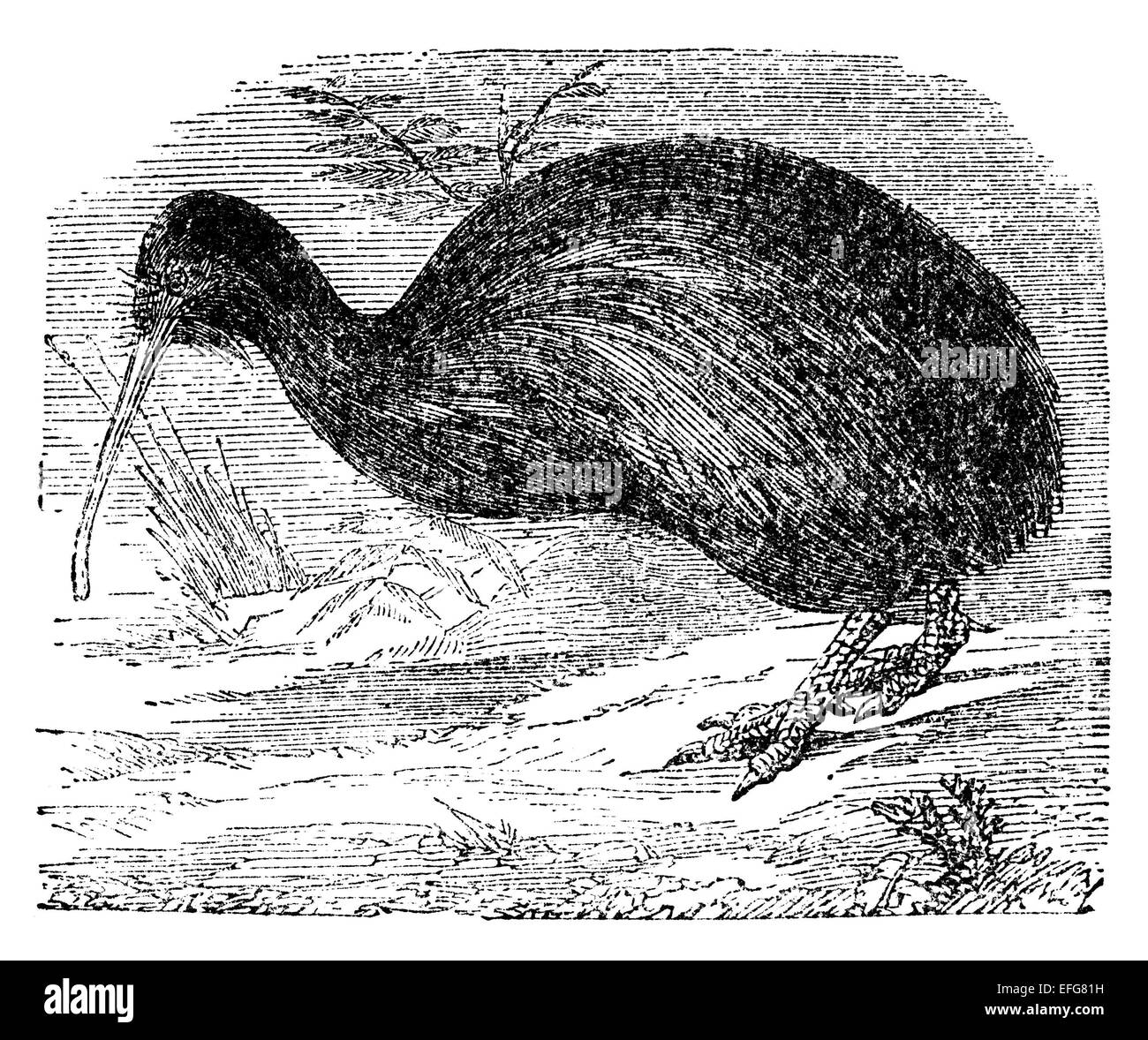 Victorian engraving of a kiwi bird. Digitally restored image from a mid-19th century Encyclopaedia. - Stock Image
