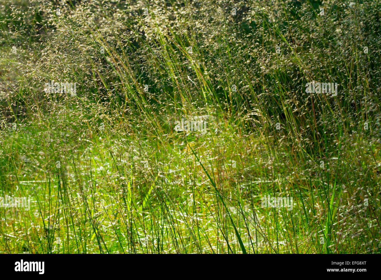 Forest undergrowth. Grass growing on forest floor. Pomerania, northern Poland. - Stock Image